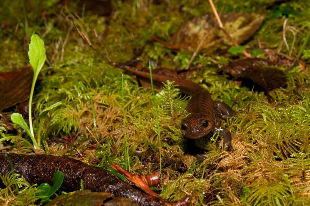 This northwestern salamander is among seven species of salamander found at the U.S. Fish and Wildlife Service's Cape Meares National Wildlife Refuge, which shelters animal species ranging from forest floor dwellers to imposing Roosevelt elk and magnificent birds of prey. Photo by David Ledig, USFWS