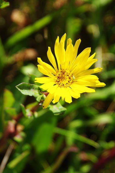 Oregon Gumweed