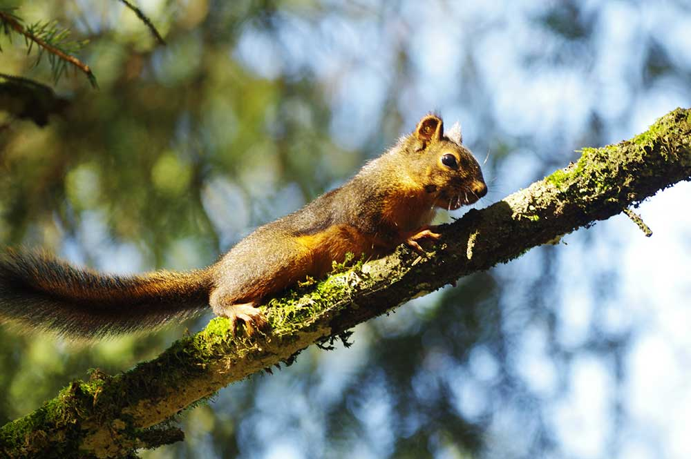 Douglas Pine Squirrel