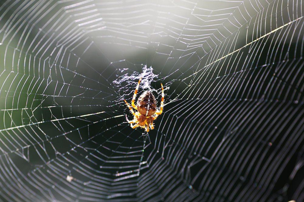 Orbweaver Spider Kilchis Point