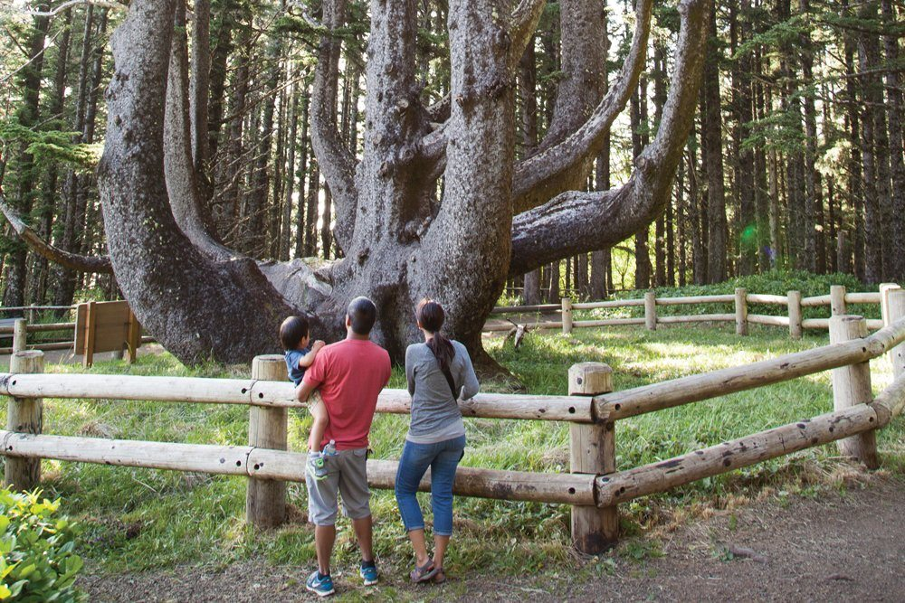 Octopus Tree Cape Meares