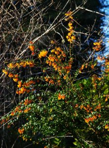 Barberry0366