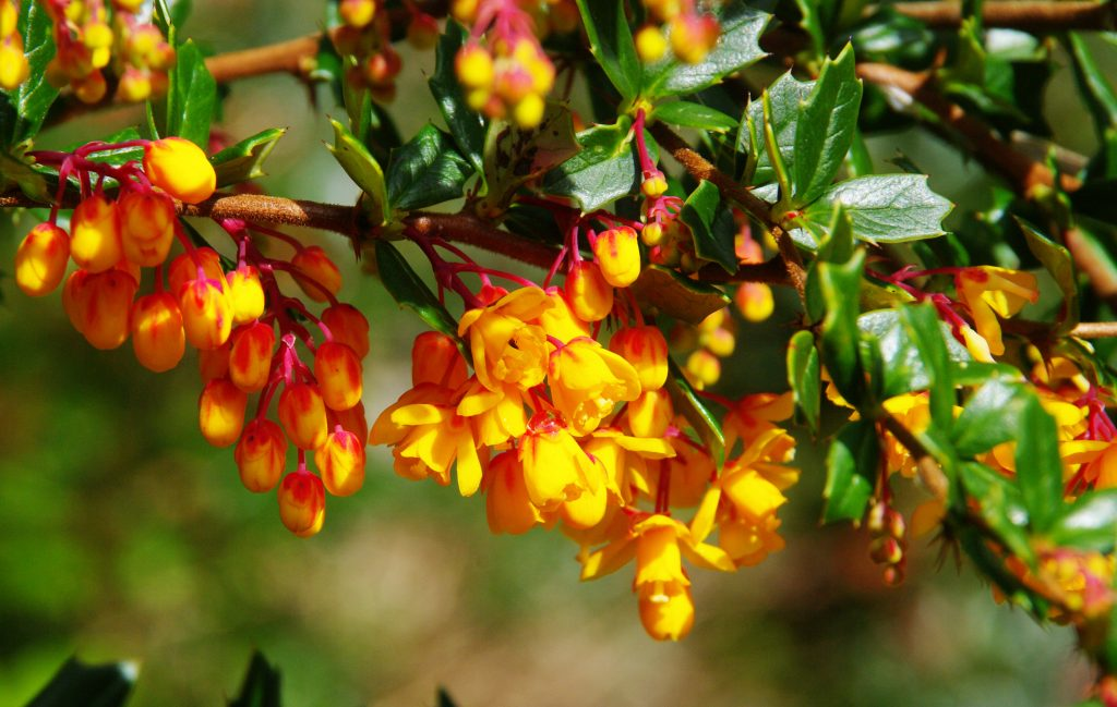 Barberry0383