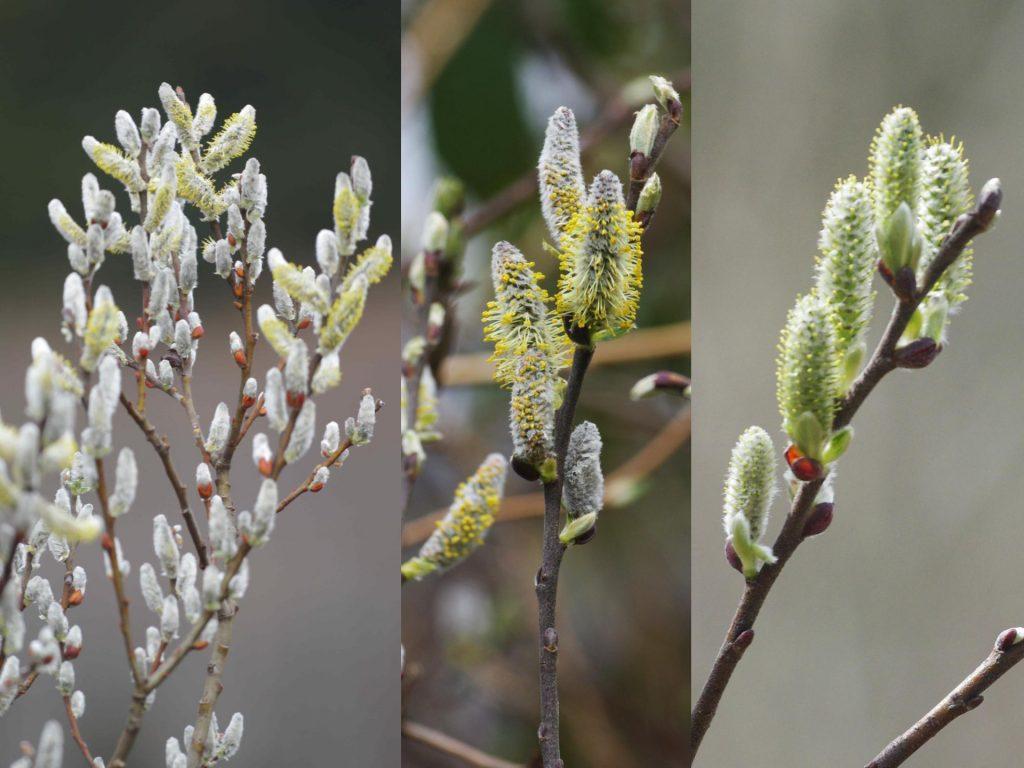 Willowflowers