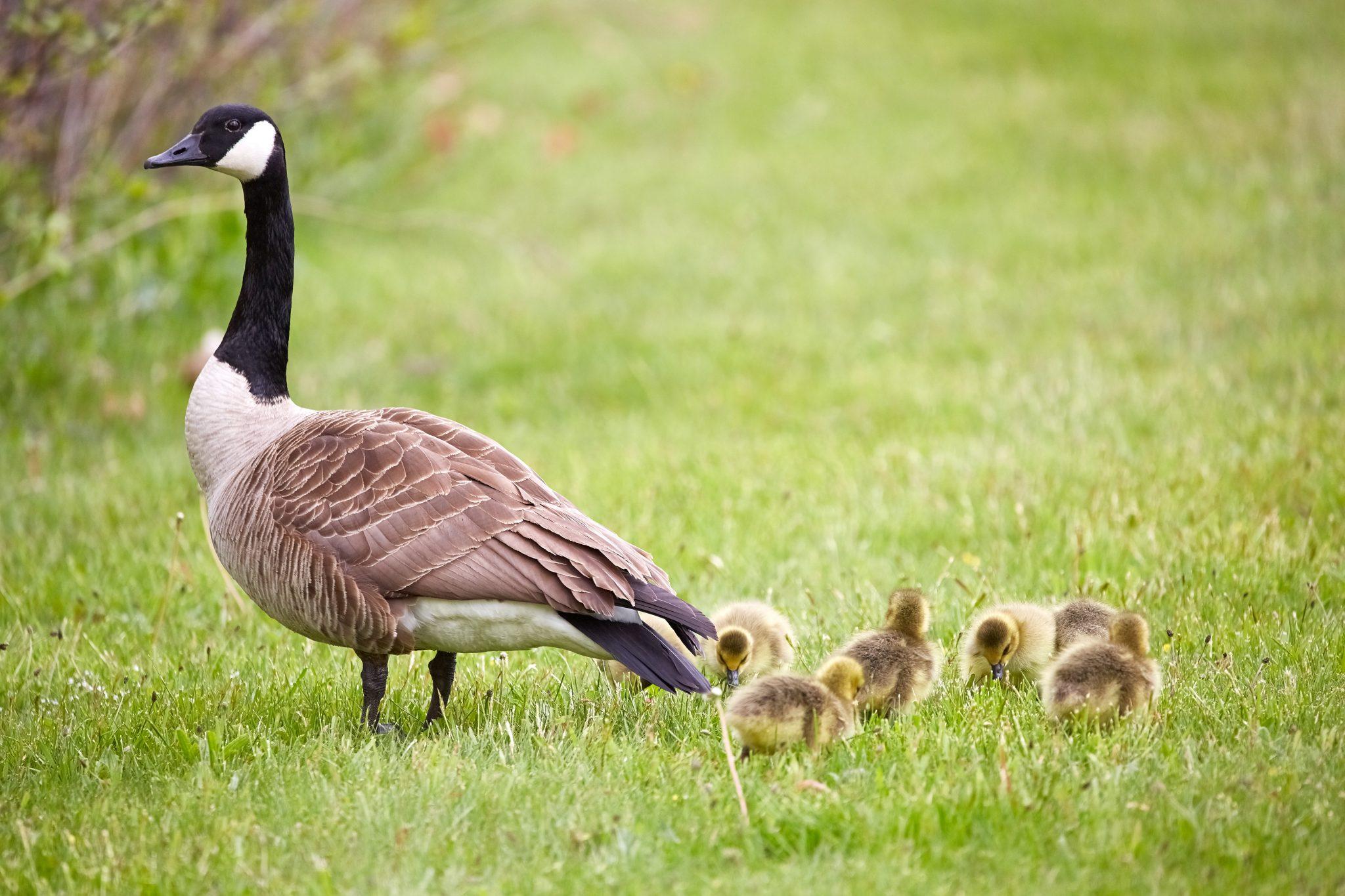 Geese by Mathew Schwartz via Unsplash