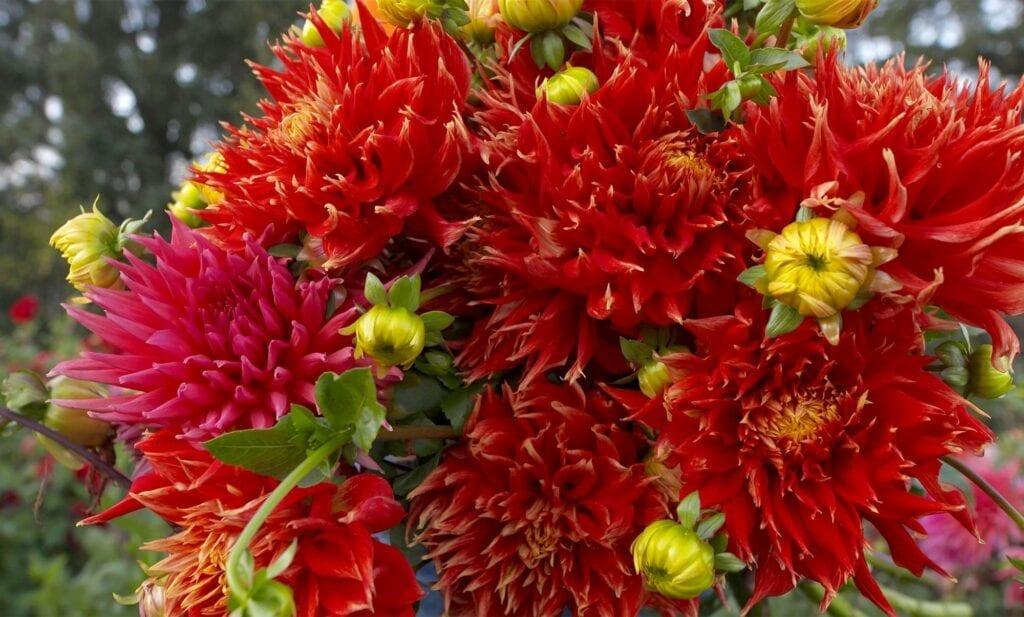 Old House Dahlias flowers